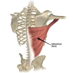 selkälihas